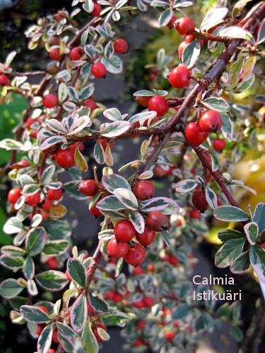 Cotoneaster dammeri - Cotoneaster procumbens queen of carpets ...